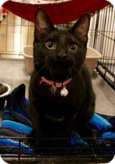 Domestic Shorthair Cat for adoption in Sacramento, California - Shirley