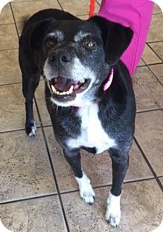 Beagle/Labrador Retriever Mix Dog for adoption in Las Vegas, Nevada - Braixen