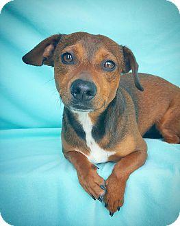 Dachshund Mix Dog for adoption in Fredericksburg, Texas - Tex