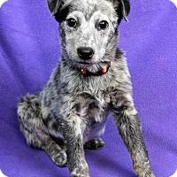 Adopt A Pet :: BERTHA - Westminster, CO