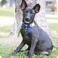 Adopt A Pet :: Upton - Castro Valley, CA