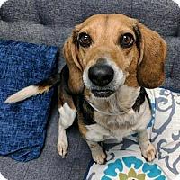 Adopt A Pet :: Maisy - Arlington, VA