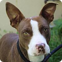 Adopt A Pet :: COCO - Red Bluff, CA