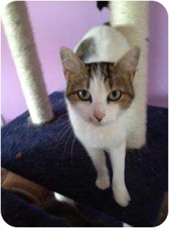 Domestic Shorthair Cat for adoption in Mobile, Alabama - Mercedes