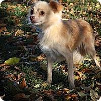 Adopt A Pet :: Mamma Mia - Broomfield, CO