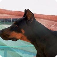 Adopt A Pet :: Draco - Gilbert, AZ