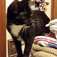 Domestic Shorthair Cat for adoption in Lawton, Oklahoma - TOKEN