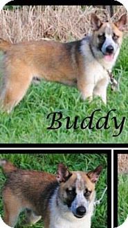 Australian Cattle Dog/Blue Heeler Mix Puppy for adoption in Crowley, Louisiana - Buddy