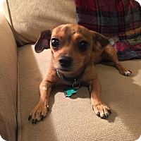 Adopt A Pet :: Napoleon-PUPPY-Watch video! - Los Angeles, CA