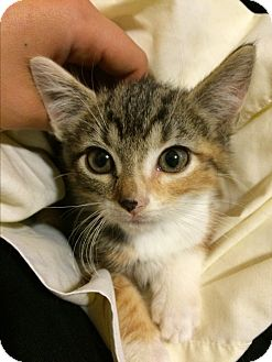 Domestic Shorthair Kitten for adoption in Philadelphia, Pennsylvania - Dhyana