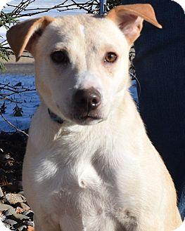 Labrador Retriever/Terrier (Unknown Type, Medium) Mix Puppy for adoption in Minneapolis, Minnesota - Tator