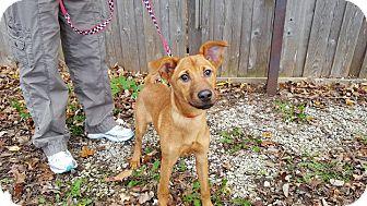 Hound (Unknown Type)/Labrador Retriever Mix Puppy for adoption in Frankfort, Illinois - Wanda
