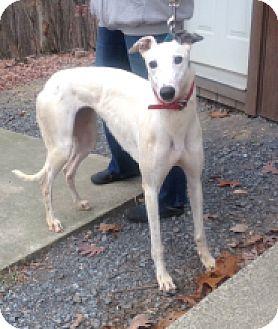 Greyhound Dog for adoption in Gerrardstown, West Virginia - Pocono Sugar