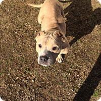Adopt A Pet :: Honey - Mesa, AZ