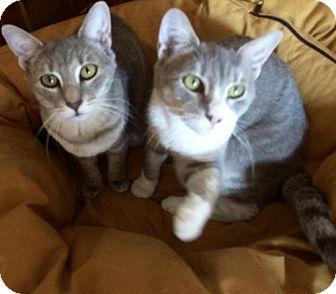 Domestic Shorthair Cat for adoption in New York, New York - Topaz & Ruby