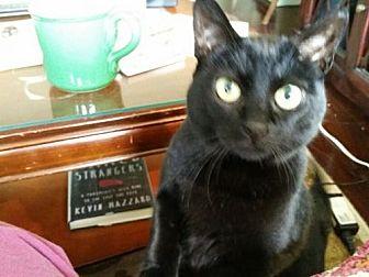 Domestic Shorthair Cat for adoption in San Jose, California - Cookie