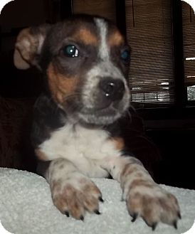Beagle Mix Puppy for adoption in Plainfield, Connecticut - Snappy