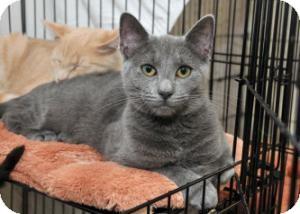 Domestic Shorthair Cat for adoption in Horsham, Pennsylvania - Brandie