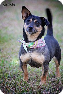 Australian Cattle Dog/Dachshund Mix Dog for adoption in Wilmington, Delaware - Sophie
