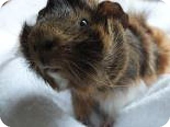 Guinea Pig for adoption in Edmonton, Alberta - Archie