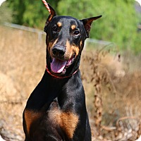 Doberman Pinscher Dog for adoption in Fillmore, California - Rocky