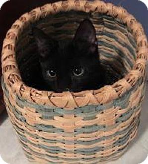 Domestic Shorthair Kitten for adoption in Franklin, West Virginia - Flipper