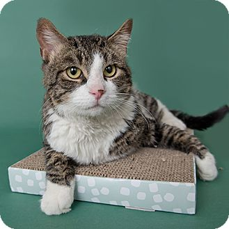 Domestic Shorthair Cat for adoption in Wilmington, Delaware - William