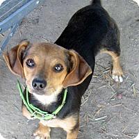 Adopt A Pet :: Dulcie - Lindsay, CA