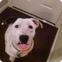 American Bulldog/Labrador Retriever Mix Dog for adoption in Houston, Texas - Snow 2