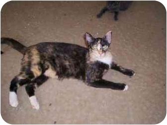 Domestic Shorthair Cat for adoption in McDonough, Georgia - Spikey