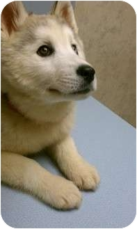 Alaskan Malamute Mix Puppy for adoption in Menasha, Wisconsin - Nakita