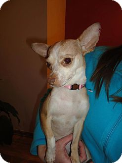 Chihuahua Mix Dog for adoption in Chicago, Illinois - Madison