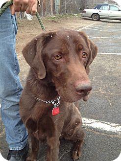 Labrador Retriever Mix Dog for adoption in Rockaway, New Jersey - Bogart