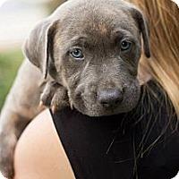 Adopt A Pet :: Big Hoss - Durham, NC