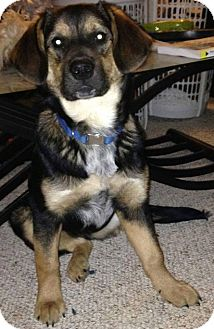 Blue Heeler/German Shepherd Dog Mix Puppy for adoption in Loogootee, Indiana - Tala