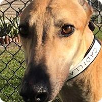 Adopt A Pet :: PJ Cadillac Sky - Longwood, FL