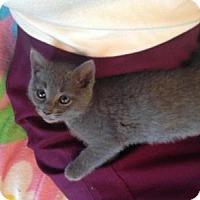 Adopt A Pet :: Greyson - Reston, VA