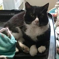 Domestic Shorthair Cat for adoption in Pottsville, Pennsylvania - Justin