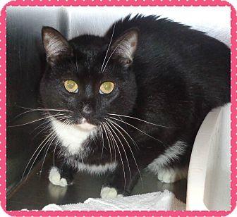 Domestic Shorthair Cat for adoption in Marietta, Georgia - MILEY