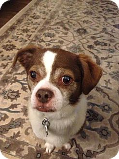 Boston Terrier Mix Dog for adoption in Charlotte, North Carolina - Ty