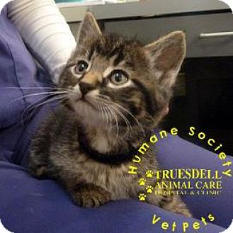 Domestic Shorthair Kitten for adoption in Janesville, Wisconsin - Tinsel