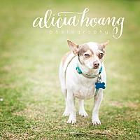 Adopt A Pet :: Dilly - Arlington, TX