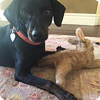 Adopt A Pet :: Ace - Scottsdale, AZ