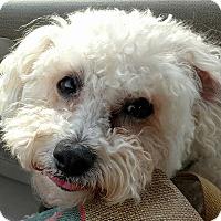 Cockapoo/Poodle (Miniature) Mix Dog for adoption in Farmington Hills, Michigan - Rocky Balboa - Adoption Pendin