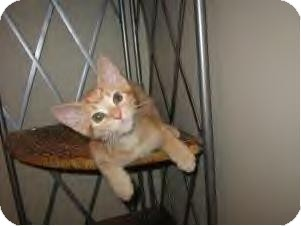 Domestic Shorthair Cat for adoption in Youngstown, Ohio - Jake-Adoption pending