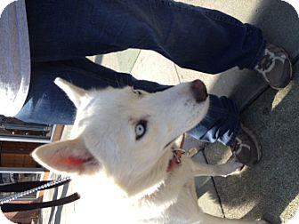 Husky/Shepherd (Unknown Type) Mix Dog for adoption in North Hollywood, California - Sovi