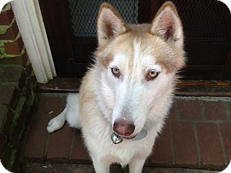 Siberian Husky Dog for adoption in Washington, D.C. - Gypsy