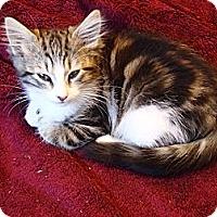 Adopt A Pet :: Foxy - Hayward, CA