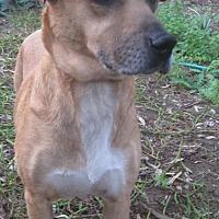 Labrador Retriever/Labrador Retriever Mix Dog for adoption in San Diego, California - Chloe