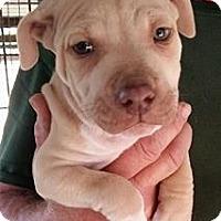 Adopt A Pet :: Chief - Gainesville, FL